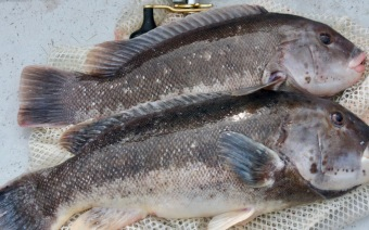 blackfish (1)